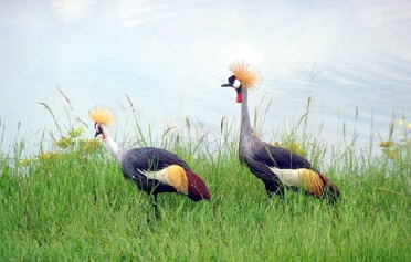 grey-crowned-cranes