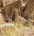 red winged francolin